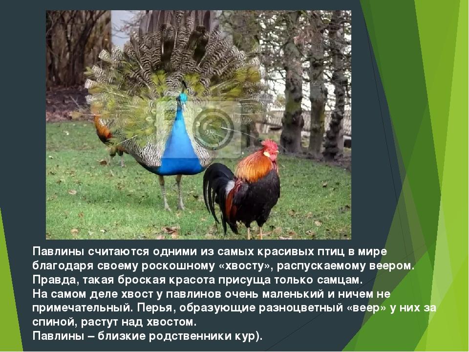 Павлины считаются одними из самых красивых птиц в мире благодаря своему роско...