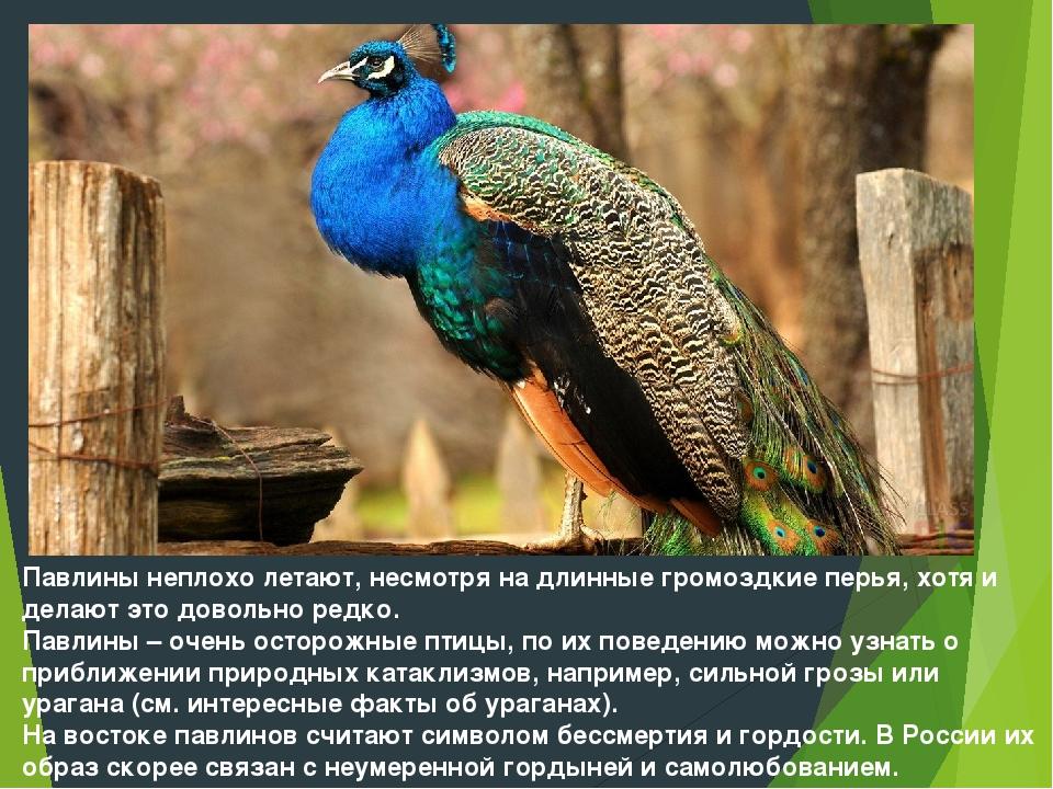 Павлины неплохо летают, несмотря на длинные громоздкие перья, хотя и делают э...