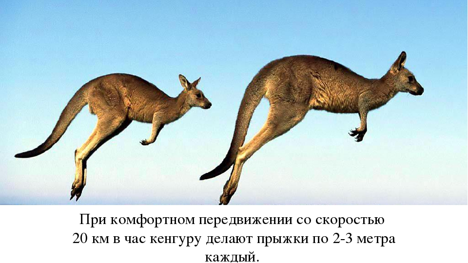 При комфортном передвижении со скоростью 20 км в час кенгуру делают прыжки по...