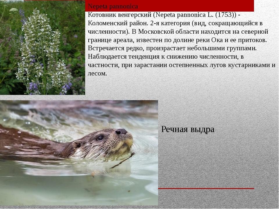 Nepeta pannonica Котовник венгерский (Nepeta pannonica L. (1753)) - Коломенск...