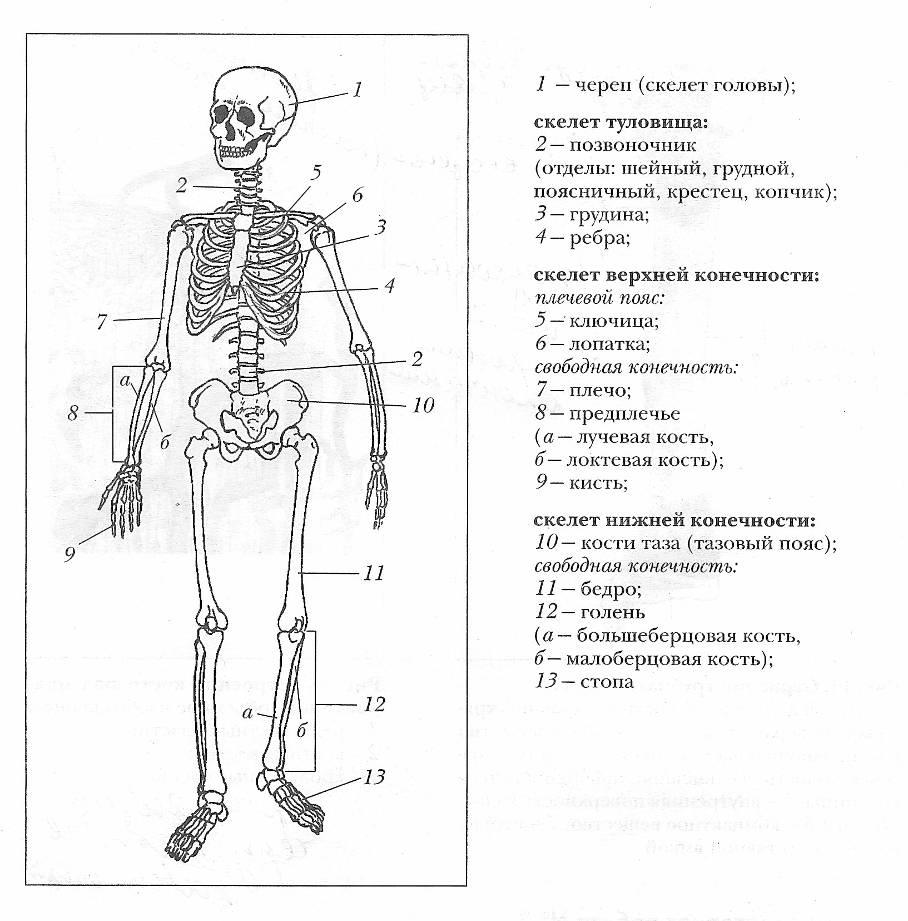биология скелет картинки ведут