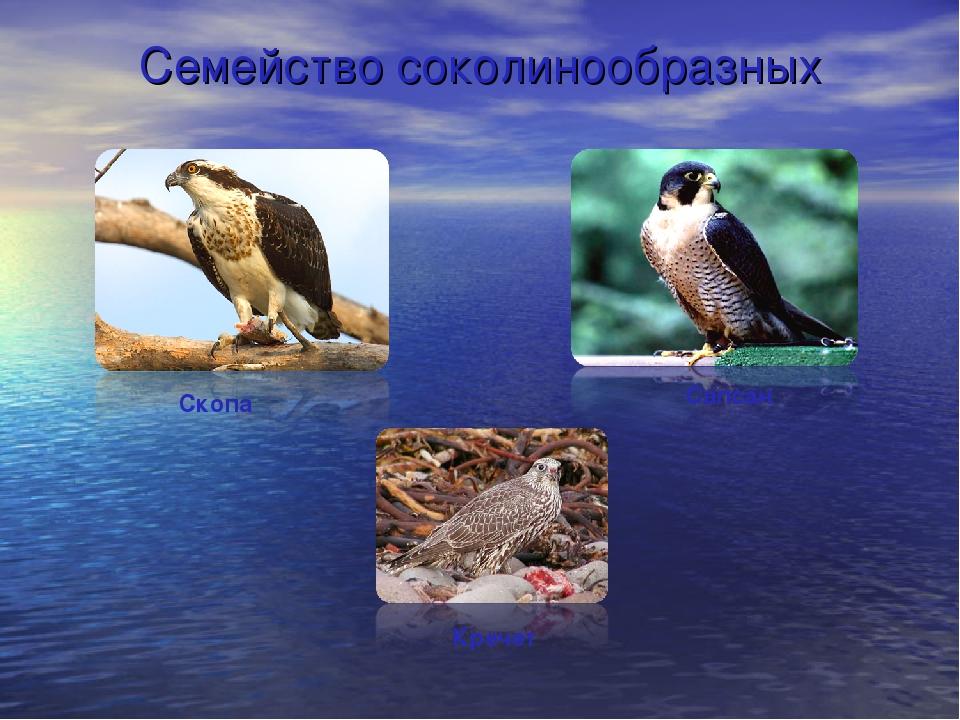 Семейство соколинообразных Сапсан Кречет Скопа