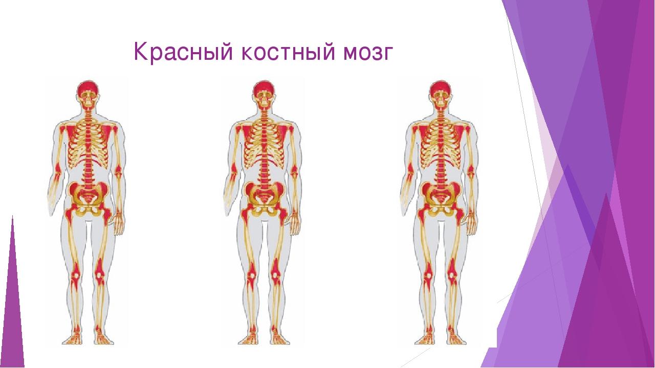 вменяются костный мозг расположение картинка концу