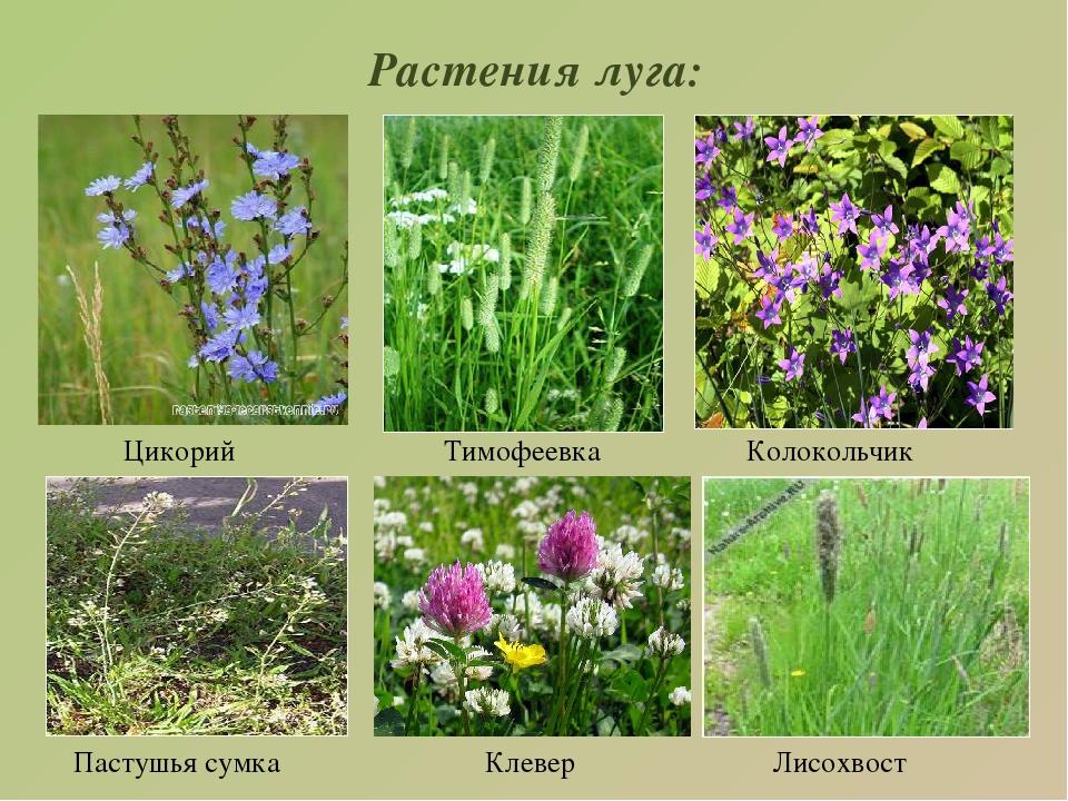 Луговые растения картинки с названиями