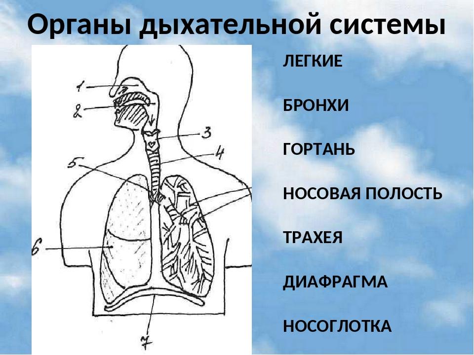 Иисуса, картинка без подписей органы дыхания 4 класс