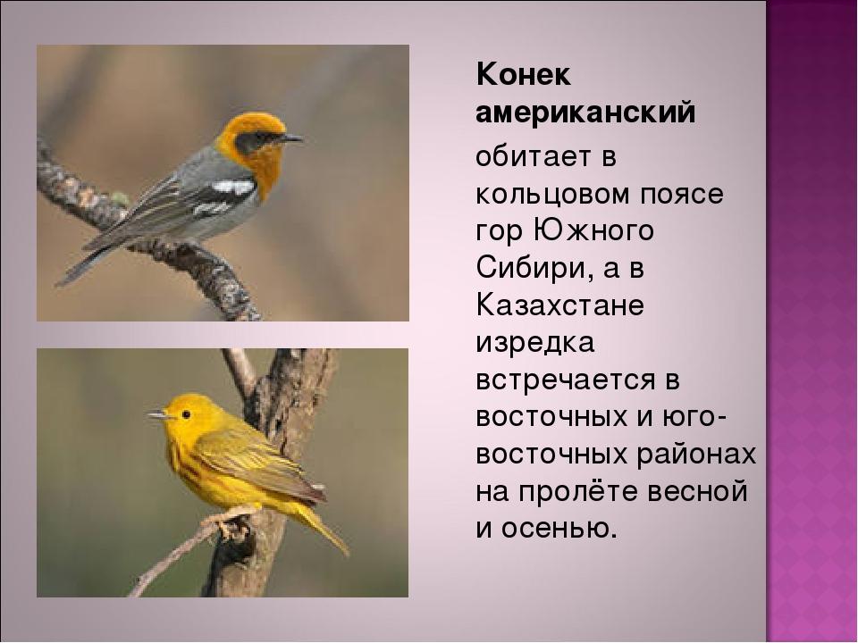 Конек американский обитает в кольцовом поясе гор Южного Сибири, а в Казахст...