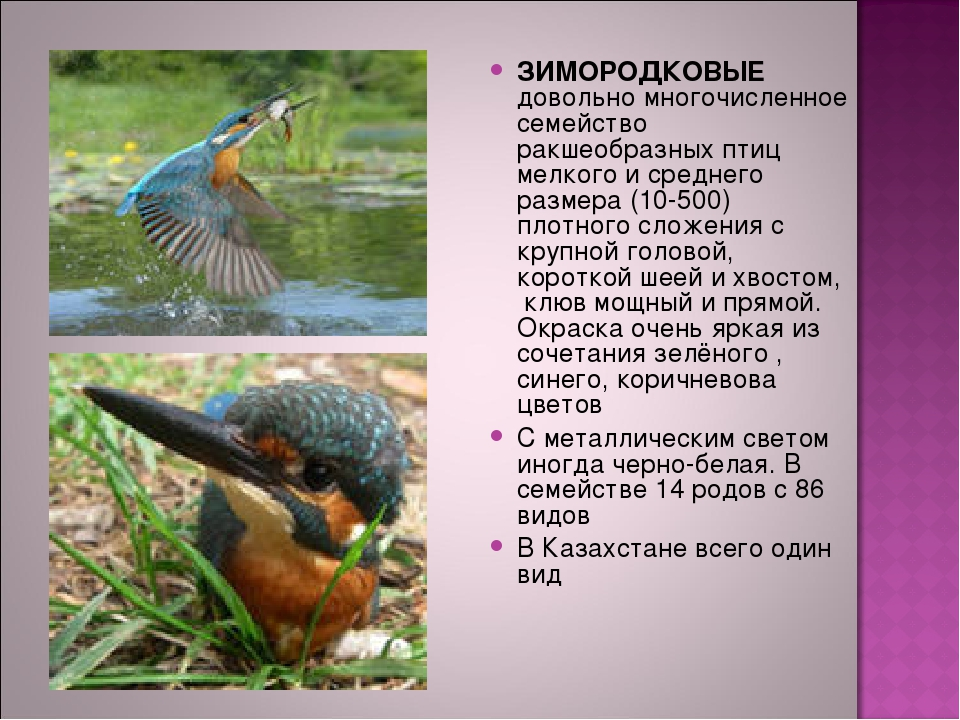 ЗИМОРОДКОВЫЕ довольно многочисленное семейство ракшеобразных птиц мелкого и с...