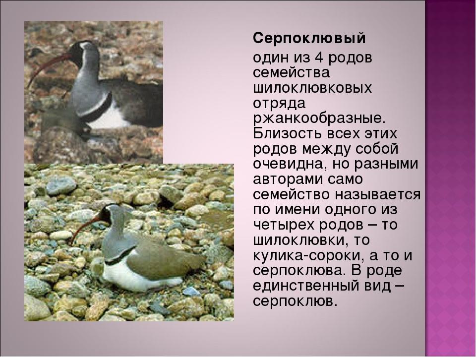 Серпоклювый один из 4 родов семейства шилоклювковых отряда ржанкообразные....