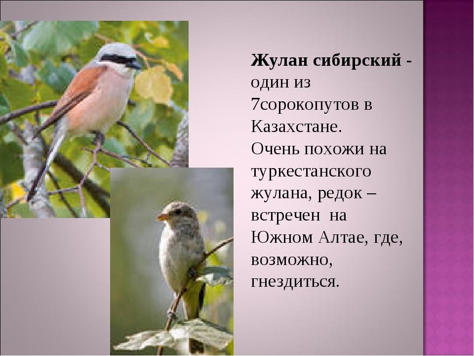 Жулан сибирский - один из 7сорокопутов в Казахстане. Очень похожи на туркеста...