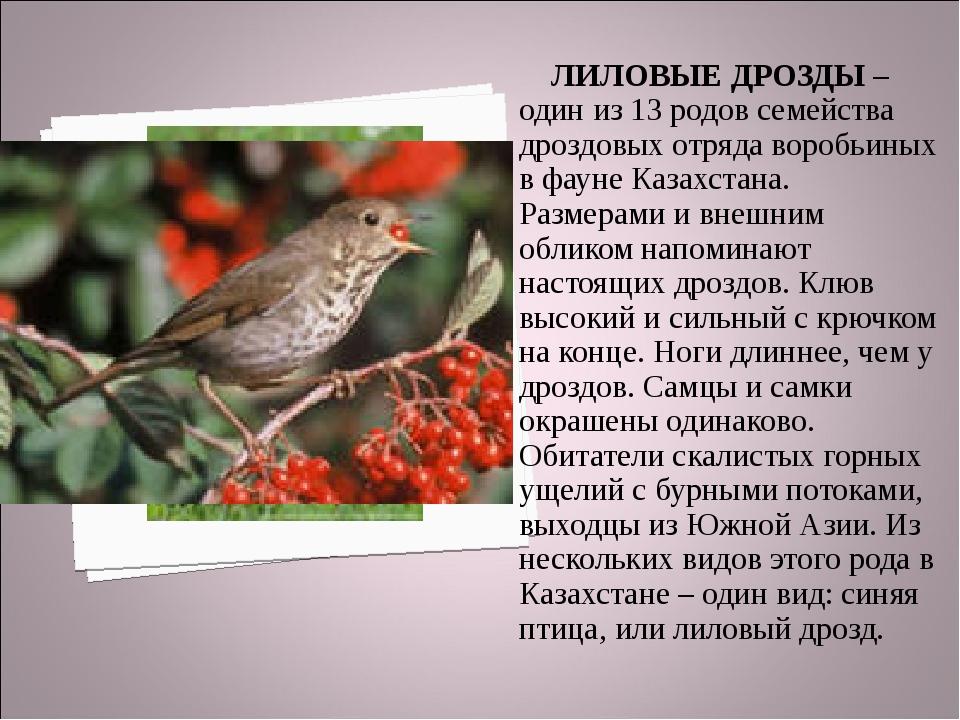 ЛИЛОВЫЕ ДРОЗДЫ – один из 13 родов семейства дроздовых отряда воробьиных в фа...