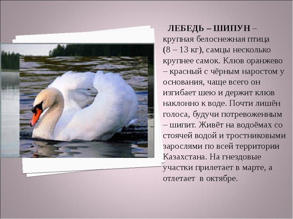 ЛЕБЕДЬ – ШИПУН – крупная белоснежная птица (8 – 13 кг), самцы несколько круп...