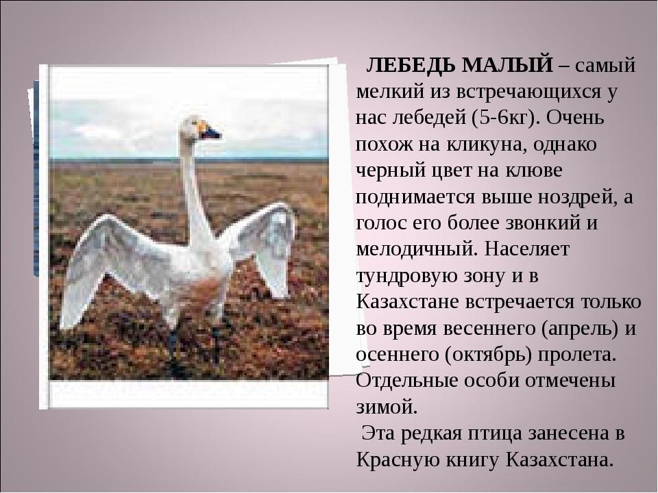 ЛЕБЕДЬ МАЛЫЙ – самый мелкий из встречающихся у нас лебедей (5-6кг). Очень по...
