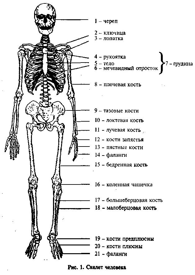 Скелет человека в картинках с названиями костей