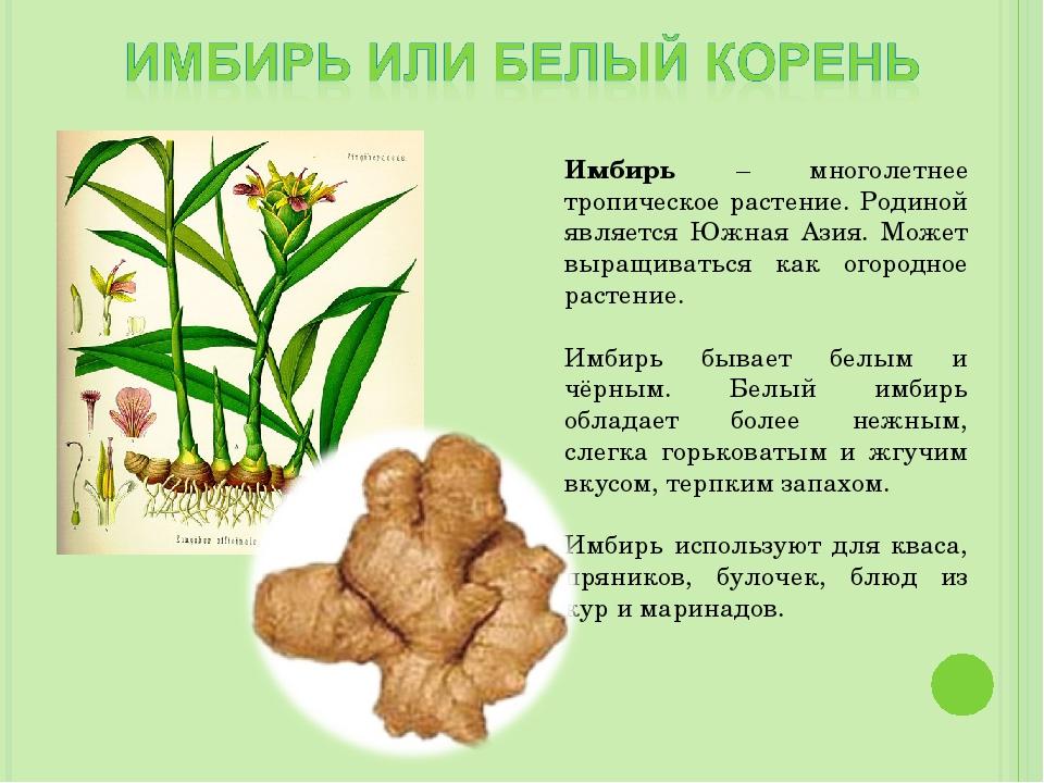 Имбирь – многолетнее тропическое растение. Родиной является Южная Азия. Может...