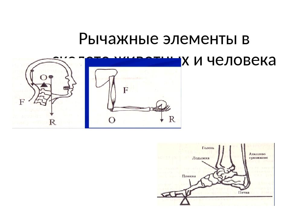 Рычажные элементы в скелете животных и человека