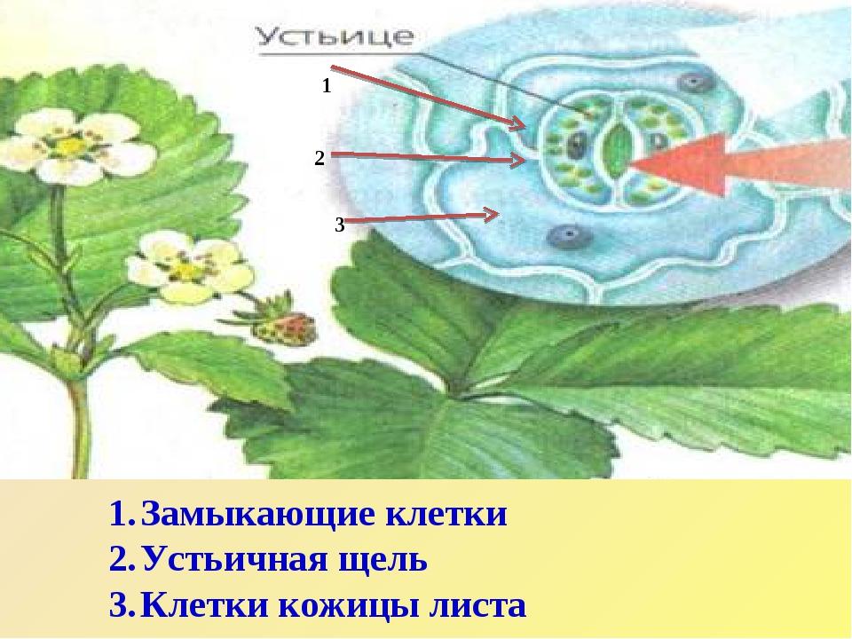 1 2 3 Замыкающие клетки Устьичная щель Клетки кожицы листа