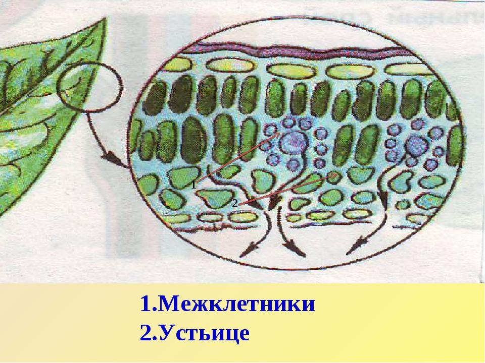 1 2 Межклетники Устьице