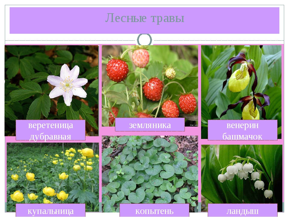 растения леса беларуси в картинках с названиями это