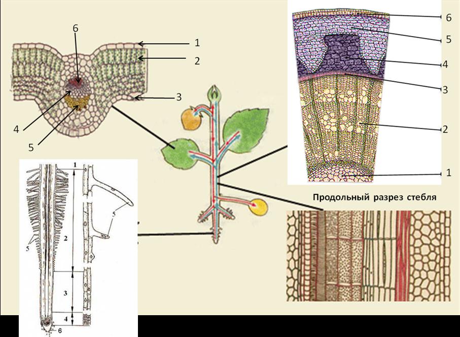 Растение в разрезе картинки