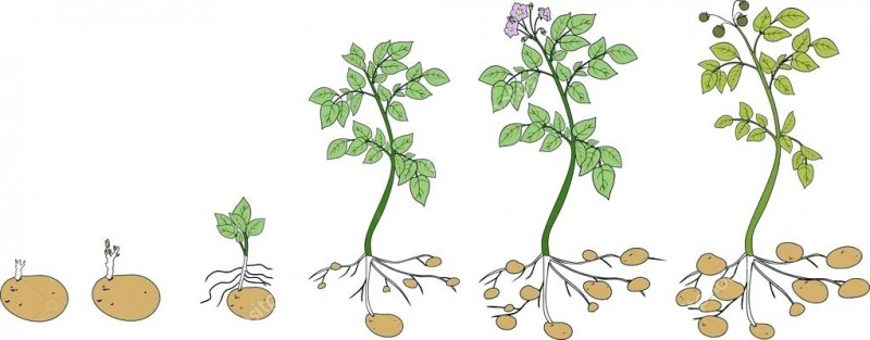 Этапы роста растения в картинках для детей