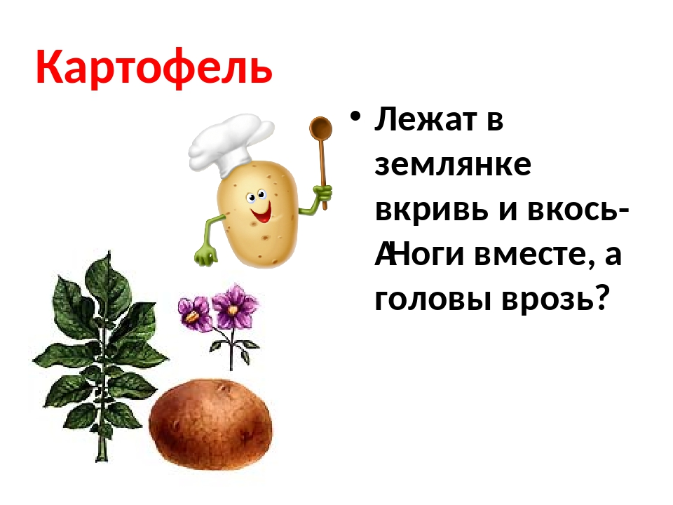 Картофель Лежат в землянке вкривь и вкось- Ноги вместе, а головы врозь?