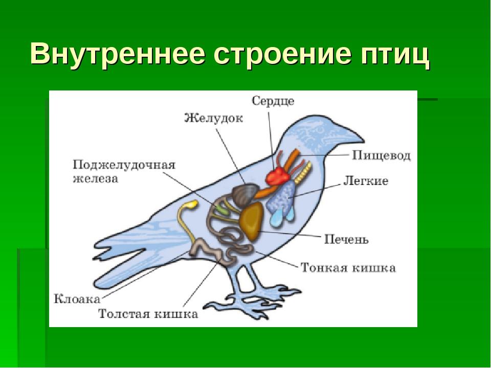 Картинка внутреннего строения птицы источник