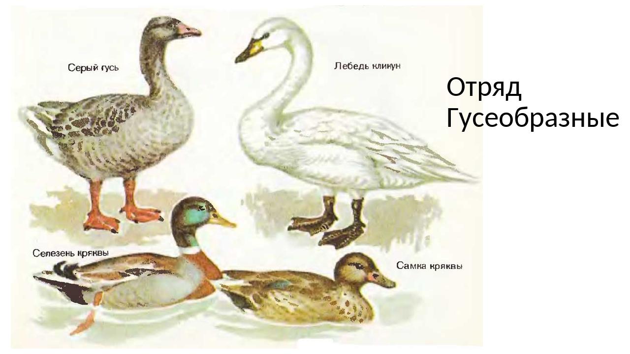 создал водоплавающей птицы картинки с названиями критиковали желание