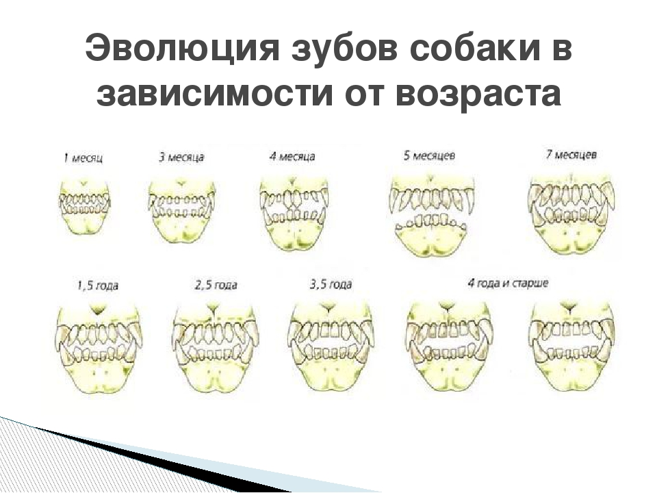 как определить возраст щенка по зубам фото каждая пара для