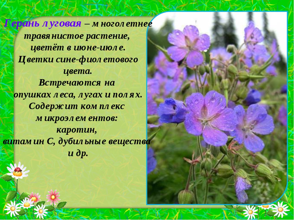Герань луговая – многолетнее травянистое растение, цветёт в июне-июле. Цветки...