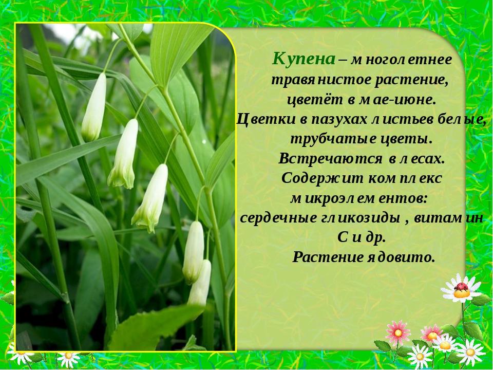 Купена – многолетнее травянистое растение, цветёт в мае-июне. Цветки в пазуха...