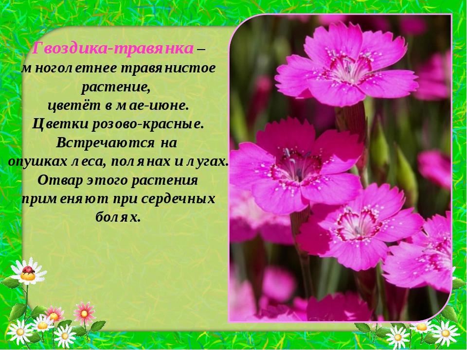 Гвоздика-травянка – многолетнее травянистое растение, цветёт в мае-июне. Цвет...