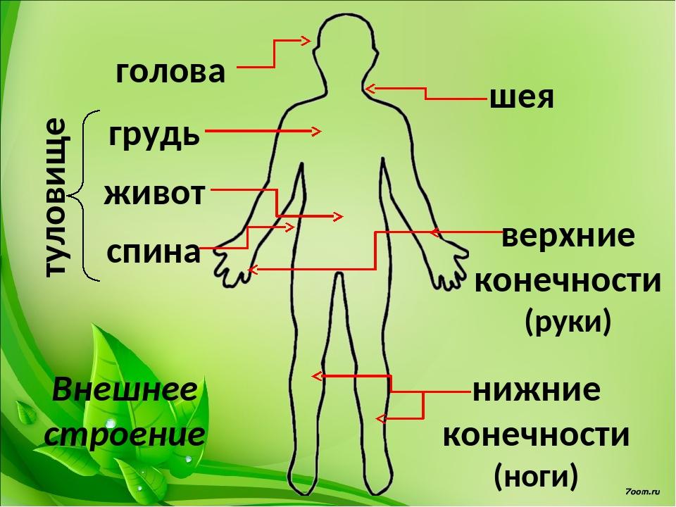 туловище шея грудь живот спина голова верхние конечности (руки) нижние конечн...