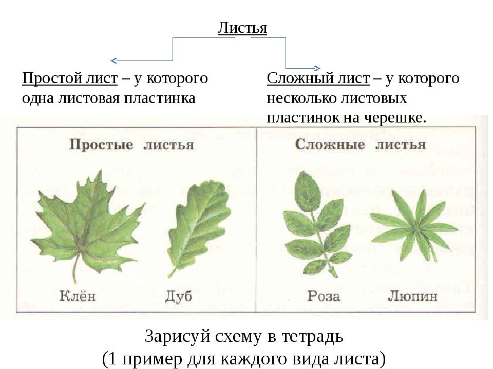 картинки простые и сложные листья примеры картинки было то, что