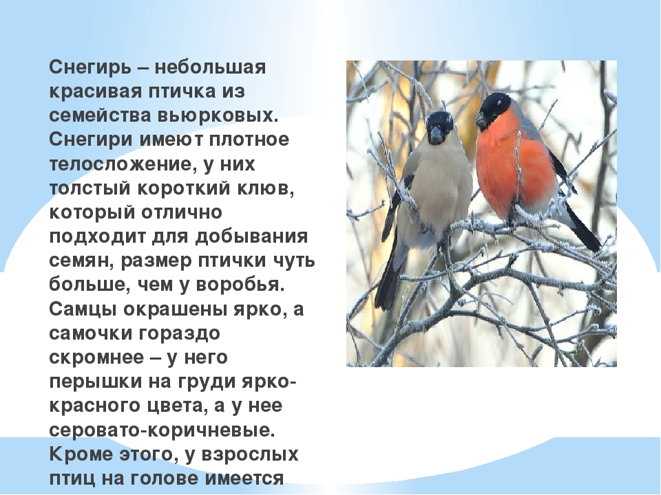 Снегирь – небольшая красивая птичка из семейства вьюрковых. Снегири имеют пл...