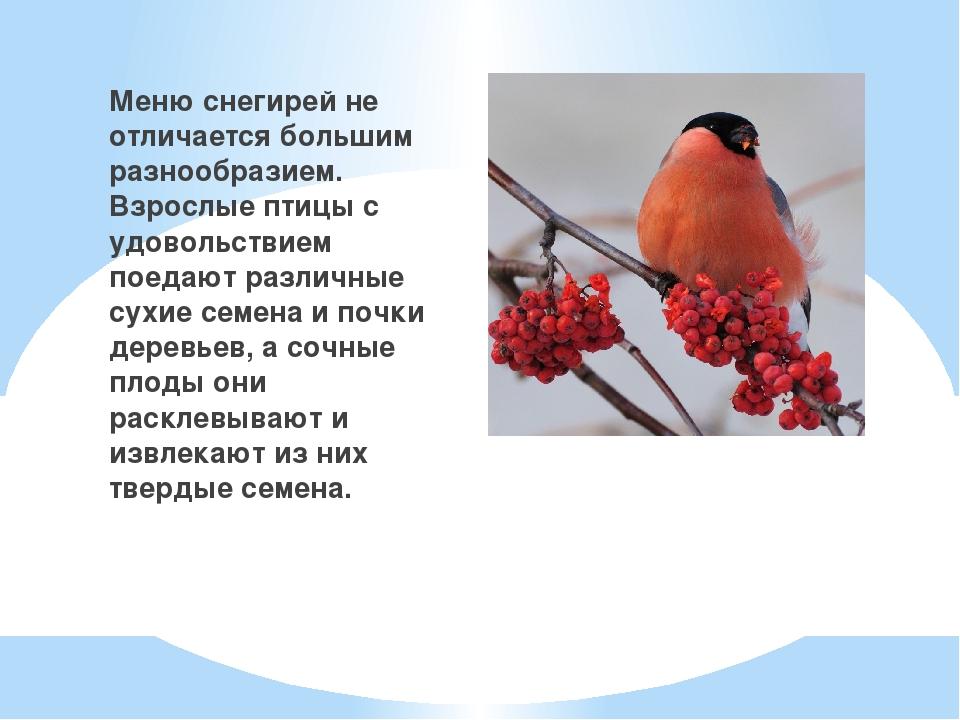 Меню снегирей не отличается большим разнообразием. Взрослые птицы с удовольс...