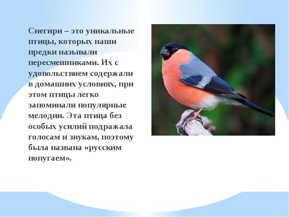 Снегири – это уникальные птицы, которых наши предки называли пересмешниками....