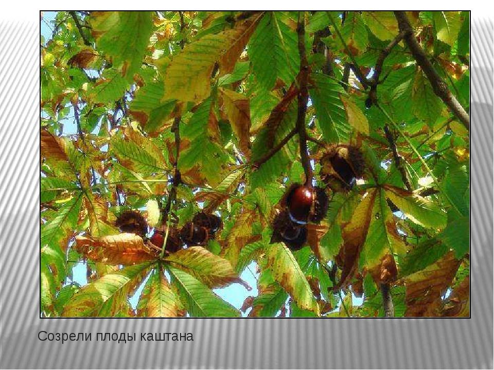 Созрели плоды каштана