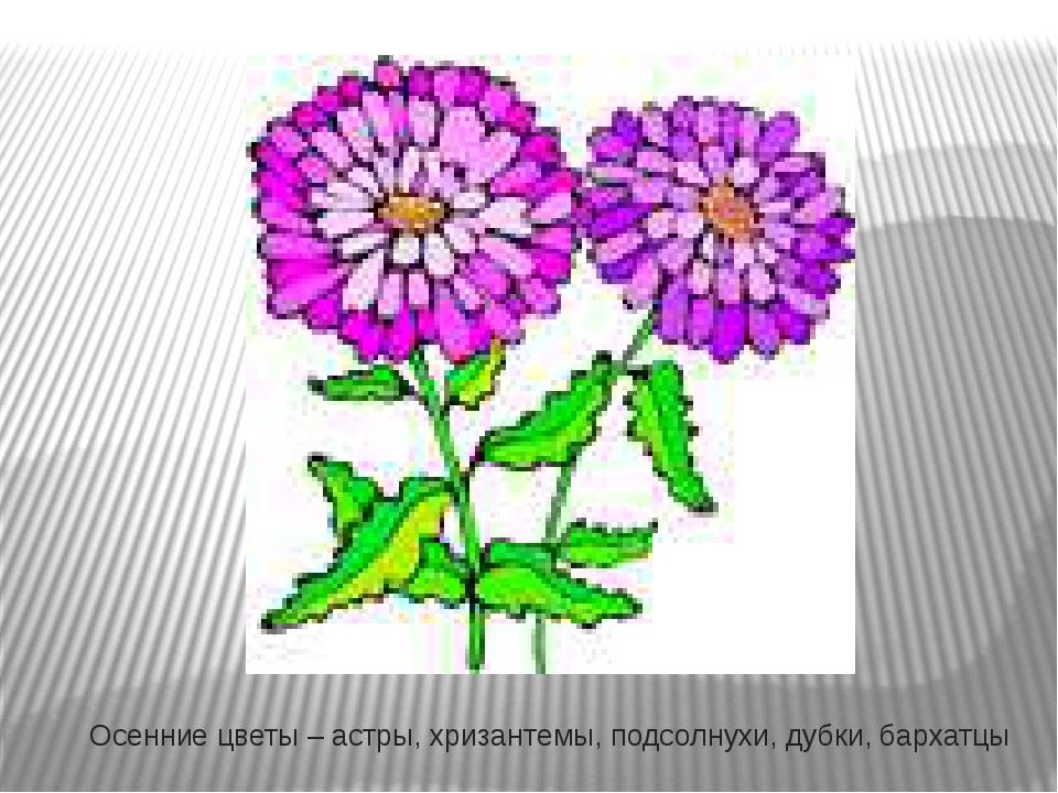Осенние цветы – астры, хризантемы, подсолнухи, дубки, бархатцы
