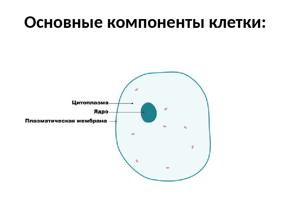 картинки цитоплазма клетки фото она была