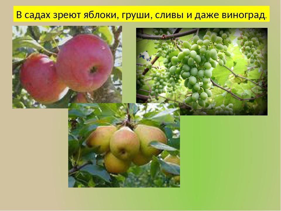 В садах зреют яблоки, груши, сливы и даже виноград.