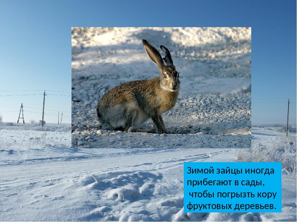 Зимой зайцы иногда прибегают в сады, чтобы погрызть кору фруктовых деревьев.