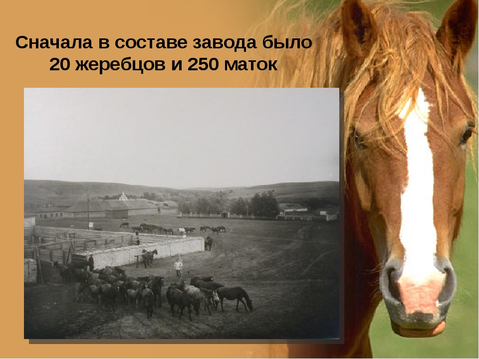 Сначала в составе завода было 20 жеребцов и 250 маток www.PresentationPro.com