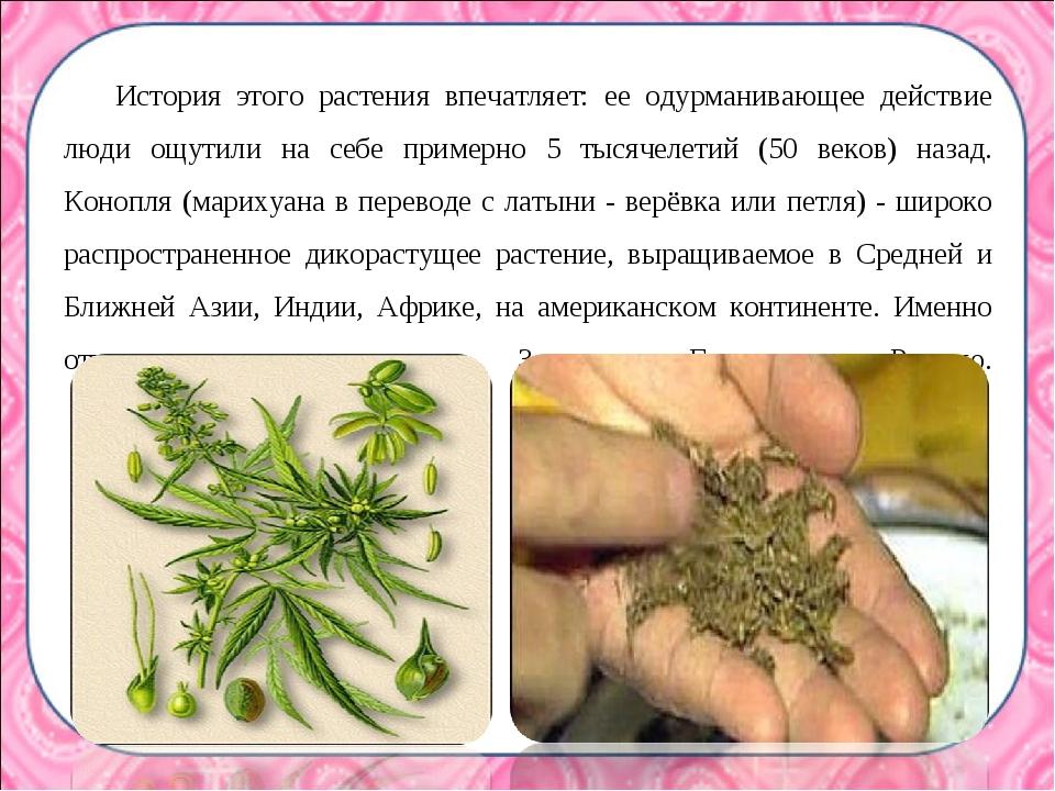 История этого растения впечатляет: ее одурманивающее действие люди ощутили на...
