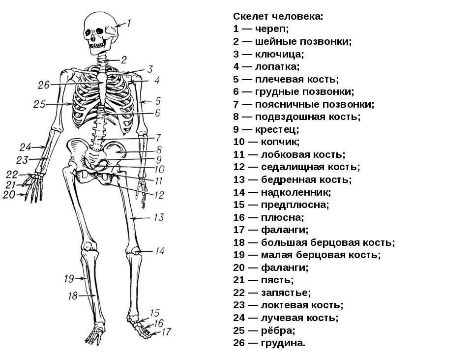 название костей и суставов в картинках должен жить таборе