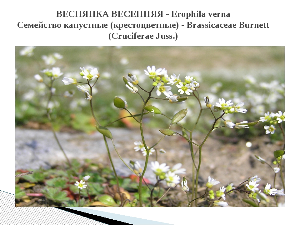 ВЕСНЯНКА ВЕСЕННЯЯ - Erophila verna Семейство капустные (крестоцветные) - Bras...