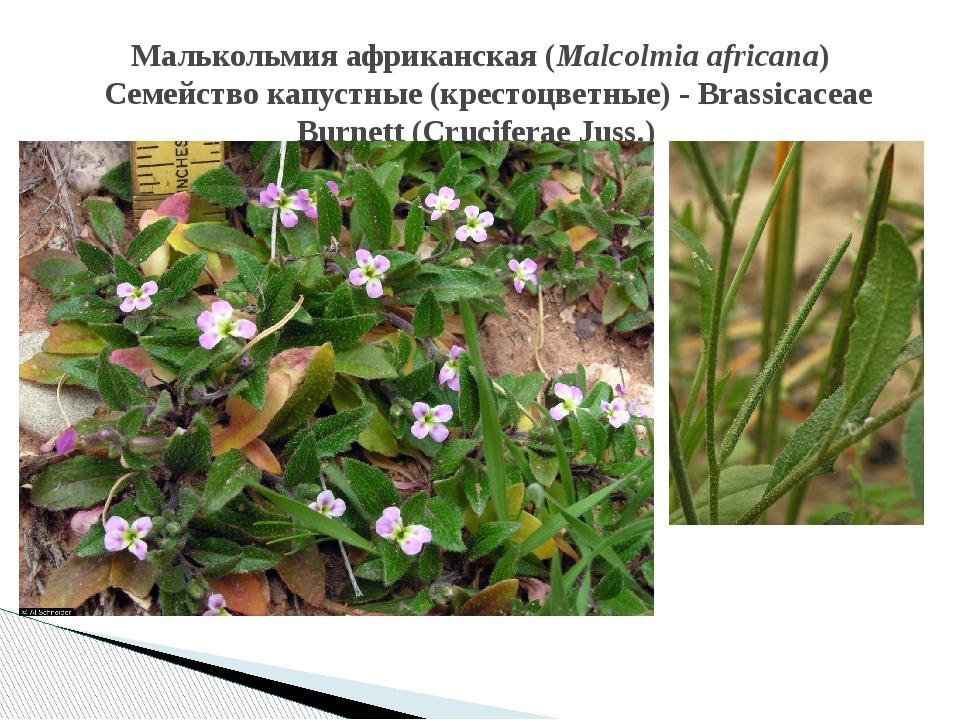Малькольмия африканская(Malcolmia africana)  Семейство капустные (крестоцве...