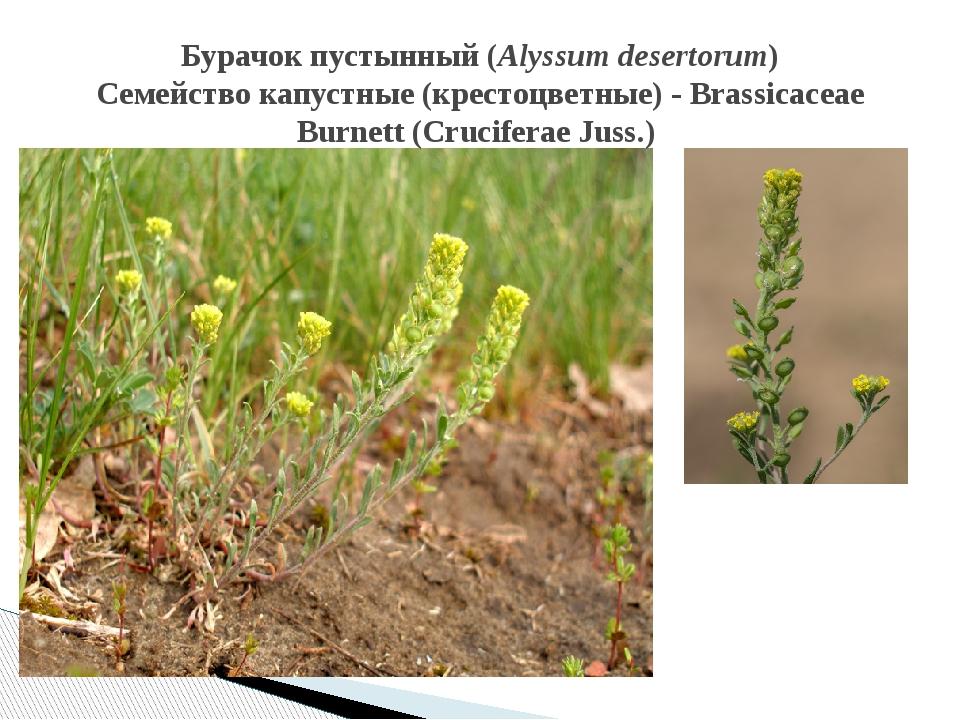 Бурачок пустынный (Alyssum desertorum) Семейство капустные (крестоцветные) -...