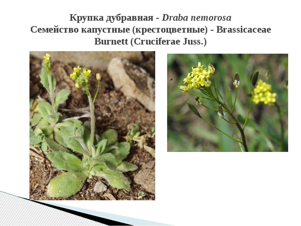 Крупка дубравная - Draba nemorosa Семейство капустные (крестоцветные) - Brass...