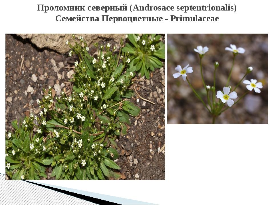Проломниксеверный(Androsaceseptentrionalis) Семейства Первоцветные - Primu...