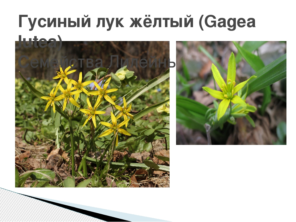Гусиный лук жёлтый (Gagea lutea) СемействаЛилейные(Liliaceae)